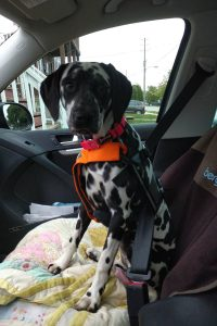 Random is in a safety harness seatbelt for a short road trip.