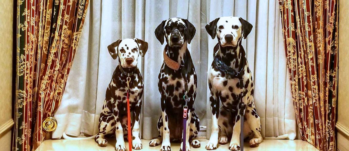 Roguetrippers travel with dogs and the Dalmatians love pet friendly hotels.