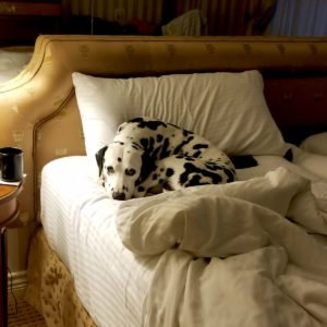 Hazzard is a well travelled dog who loves pet-friendly hotels