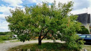 The first crabapple tree that started it all at Appleflats orchards