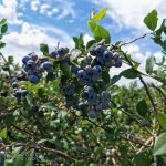 blueberry bushes at TNT Berries